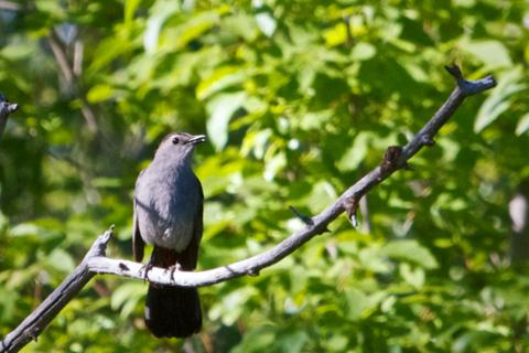 Nancy, a Nearby Rancher, Birder, and Friend of Betsy, Later Identified This as a Gray Catbird