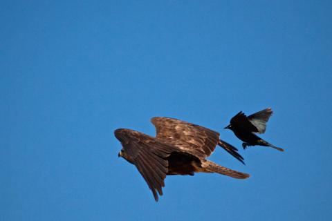 A Smaller Bird Chases the Hawk