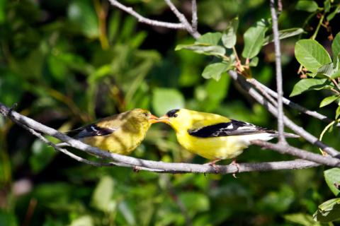 Do American Goldfinches Kiss?