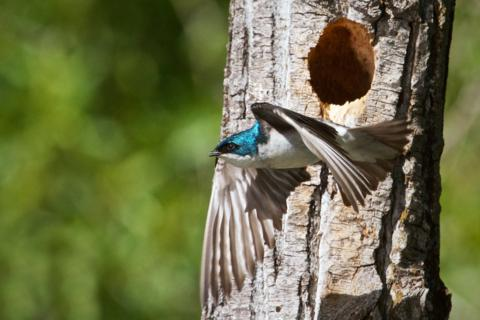 This Male Tree Swallow Leaves the Nest