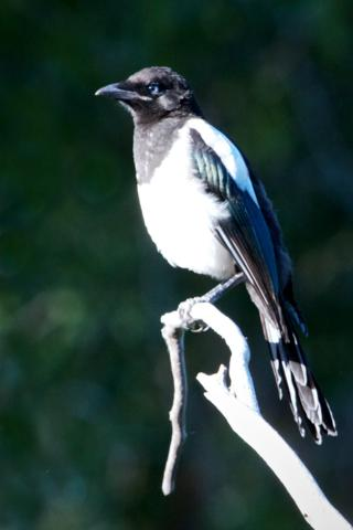 My First Magpie Photo that Captures its Blue Eyes and Blue Wing Bars