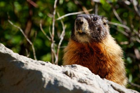 This Marmot Was on Guard Duty