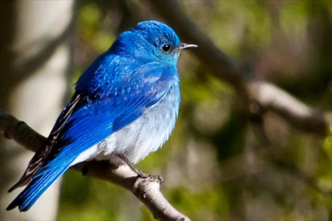 A Mountain Bluebird in the Mountains