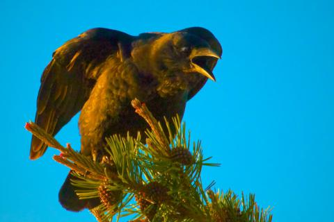 A Raven in Early Morning Light