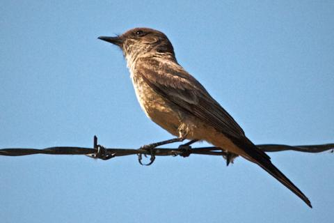 This Say's Phoebe was a Life Bird for my Camera