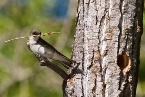 This Female or Juvenile Tree Swallow Couldn't Figure Out How to Get the Sticks into the Nest