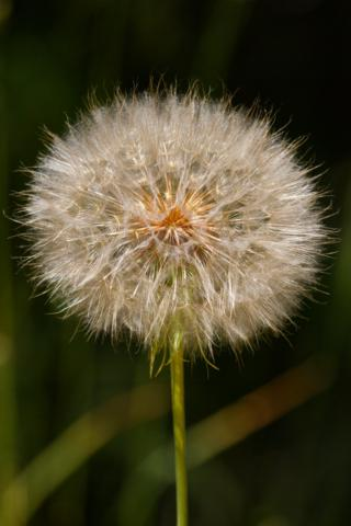 The Seedhead of a Really Common Dandelion