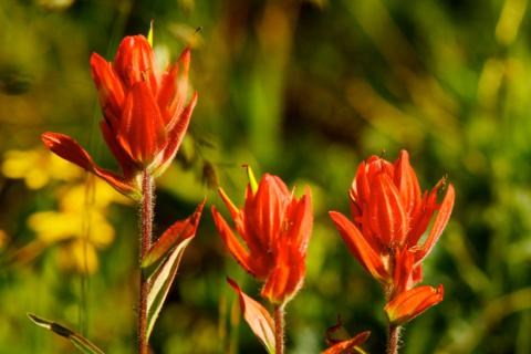 Three Red Indian Paintbrushes Stand in a Row