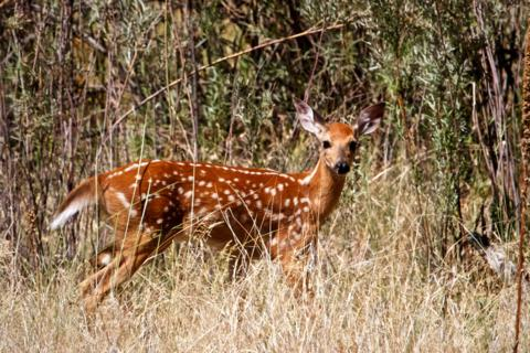 This Spotted Fawn, a White-Tailed Deer, Studies Us