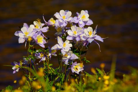 Columbines, Colorado's State Flower, Grow Next to Lake Isabelle