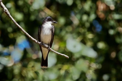 The Eastern Kingbird Sits on a Branch