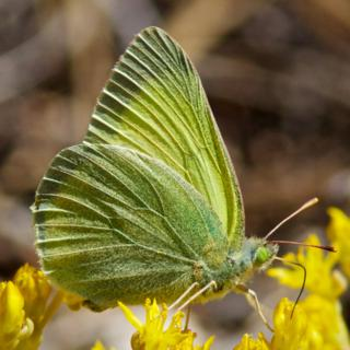 We Saw Several of these Green Sulphurs