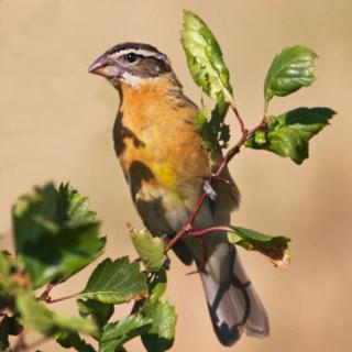 An Immature Black-headed Grosbeak Doesn't Have a Black Head