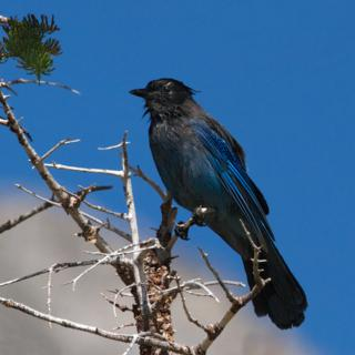 Probably a Dark Morph of a Western Scrub-Jay