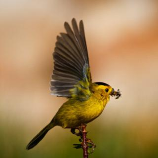 This Male Wilson's Warbler is Ready to Fly Off with His Catch