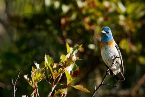 This Male Lazuli Bunting Was Just a Few Feet Off the Trail