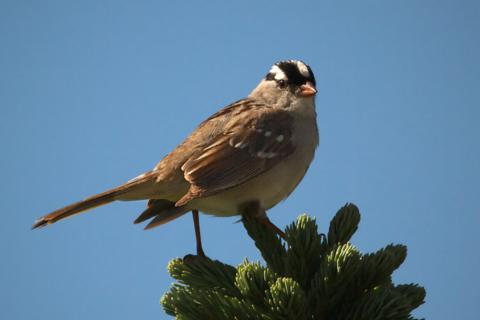 A White-crowned Sparrow Perches on Top of a Tree