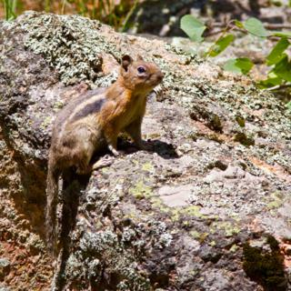 A Golden-mantled Ground Squirrel