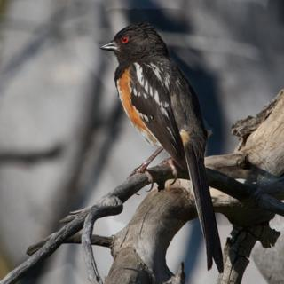The Eyes of the Spotted Towhee Are Naturally Red