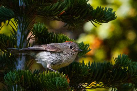 A Ruby-crowned Kinglet Sits in a Tree