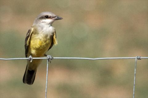The Pretty Yellow Western Kingbird Sits on a Wire Fence