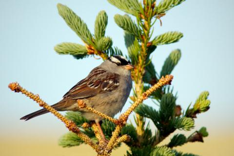 A White-crowned Sparrow Perches in a Tree