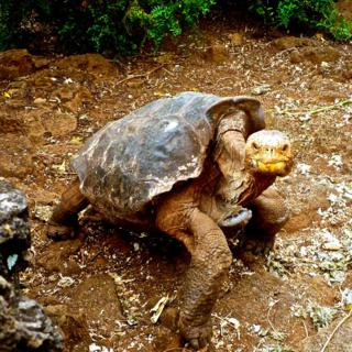 Galapagos (Giant) Tortoises (Geochelone elephantopus) Like This One Inspired E.T. (Panasonic DMC-TS3 at 6mm, f/3.5, 1/400, ISO 400)