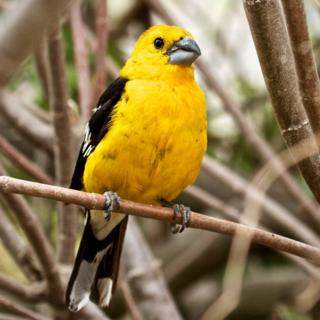 A Southern Yellow Grosbeak (Pheucticus chrysogaster) in the Museum Gardens (Canon 7D with 100-400mm lens at 135mm, f/8, 1/180, ISO 800)