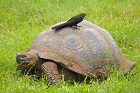A Smooth-billed Ani (Critiogaga ani) Finds that this Galapagos (Giant) Tortoise (Geochelone elephantopus) Is a Convenient Perch (Canon 7D with 100-400mm lens at 100mm, f/8, 1/500, ISO 1600)