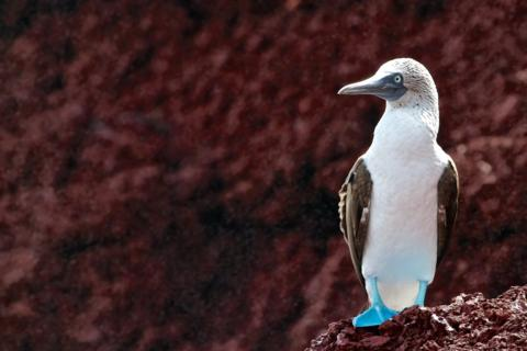 A Blue-footed Booby (Sula nebouxii) Looks out over the South Pacific Ocean (Canon 7D with 100-400mm lens at 400mm, f/8, 1/250, ISO 400)