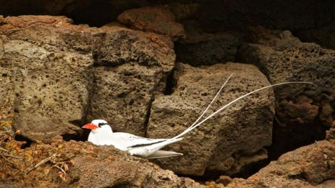 A Red-billed Tropicbird (Phaethon aethereus) at Rest (Canon 7D with 100-400mm lens at 400mm, f/8, 1/500, ISO 800)