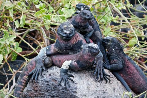 We Found this Pile of Marine Iguanas (Amblyrhynchus cristatus) on a Lava Rock Waiting Along the Trail (Canon 7D with 100-400mm lens at 160mm, f/8, 1/350, ISO 1600)