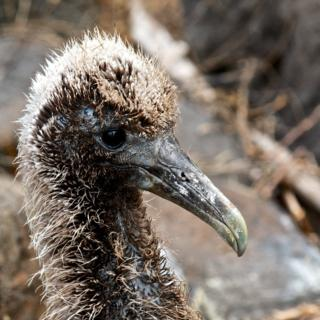 A Waved Albatross Chick (Diomedea irrorata) that Only a Mother Could Love (Canon 7D with 100-400mm lens at 275mm, f/8, 1/750, ISO 800)
