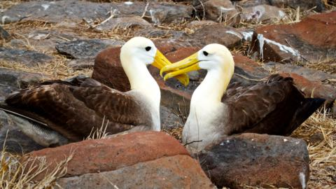 These Waved Albatross (Diomedea irrorata) were Courting by Clapping Their Bills Together (Canon 7D with 100-400mm lens at 120mm, f/8, 1/1500, ISO 800)