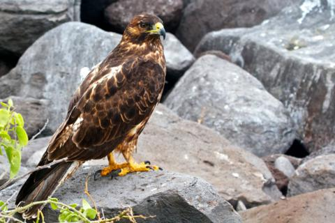A Galapagos Hawk (Buteo galapagoensis) Waits for Us Right By the Trail (Canon 7D with 100-400mm lens at 135mm, f/8, 1/350, ISO 400)