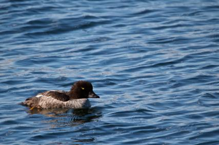 A Common Goldeneye (Bucephala clangula) Swims in the Yellowstone River (Canon 7D with 100-400mm lens at 400mm, f/8, 1/500, ISO 200)