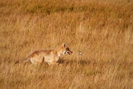 A Coyote Hunts but the Bird Escapes (Canon 7D with 100-400mm lens at 400mm, f/8, 1/750, ISO 400)