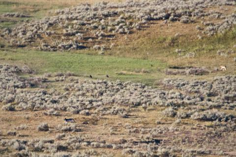 Two Wolves in Yellowstone's Lamar Valley (Canon 7D with 100-400mm lens at 400mm, f/8, 1/1000, ISO 800)