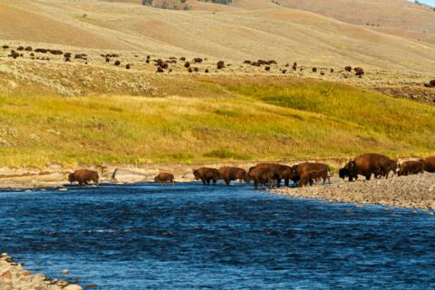 The Bison Herd Begins to Block Our Escape Route (Canon 7D with 100-400mm lens at 115mm, f/8, 1/1000, ISO 800)