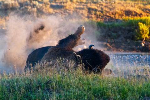 Some Bison Enjoy Dust More Than I Do (Canon 7D with 100-400mm lens at 320mm, f/8, 1/350, ISO 1600)