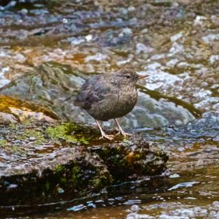 An American Dipper or Water Ouzel (Cinclus mexicanus) in Tower Creek (Canon 7D with 100-400mm lens at 400mm, f/8, 1/250, ISO 600)