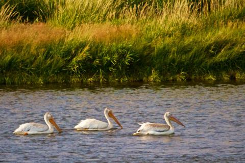 Three American White Pelicans (Pelecanus erthrorhynchos) Swim Together in the Green (Canon 7D with 100-400mm lens at 380mm, f/8, 1/1500, ISO 800)