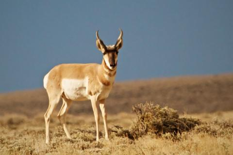 Like the Wild Horses, This Pronghorn near Pilot Butte is Just Looking (Canon 7D with 100-400mm lens at 390mm, f/8, 1/1500, ISO 400)