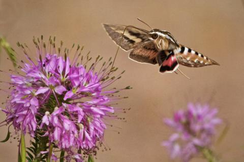 A White-lined Sphinx (Hyles lineata) Hovers Like a Butterfly (Canon 7D with 100-400mm lens at 285mm, f/8.0, 1/3000, ISO 800)