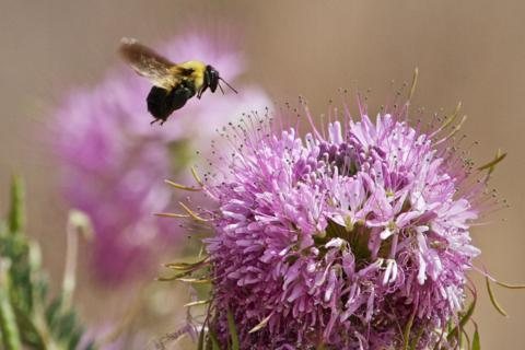 A Bee Prepares to Land on Beebalm (Canon 7D with 100-400mm lens at 400mm, f/8.0, 1/1000, ISO 400)
