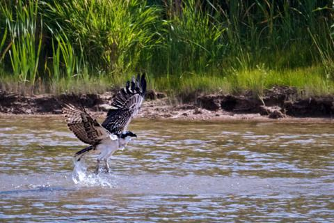An Osprey (Pandion haliaetus) Takes Off from the Green River (Canon 7D with 100-400mm lens at 285mm, f/9.5, 1/1000, ISO 800)
