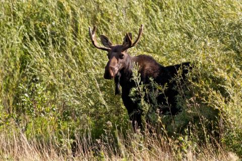 A Bull Moose Stops in the Wetlands (Canon 7D with 100-400mm lens at 380mm, f/8.0, 1/1500, ISO 800)