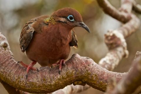 A Galapagos Dove (Zenaida galapagoensis) Sits in a Tree (Canon 7D with 100-400mm lens at 210mm, f/8, 1/1000, ISO 1600)