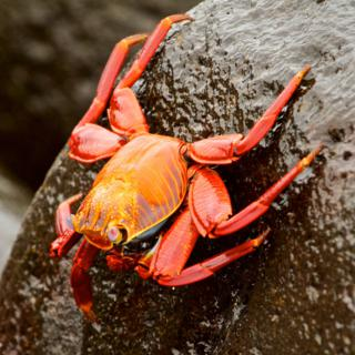 We Saw Sally Lightfoot Crabs (Grapsus grapsus) on Six of the Galapagos Islands (Canon 7D with 100-400mm lens at 400mm, f/8, 1/250, ISO 800)