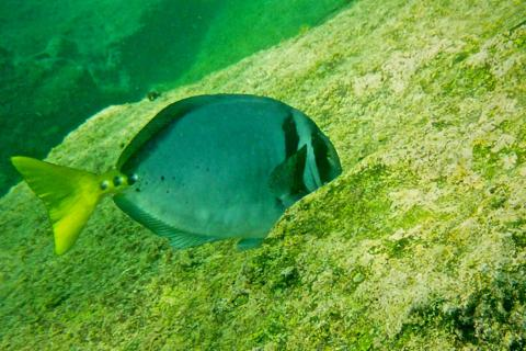 A Yellow-tailed Surgeonfish (Prionurus punctatus) Offshore from Bartolome Island (Photo by Keith Costigan with my Panasonic DMC-TS3 at 5mm, f/3.3, 1/800, ISO 400)